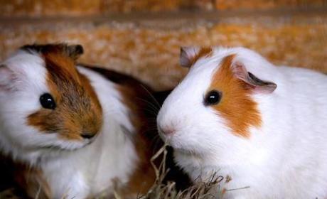 Guinea Pig Sex Annoys Neighbors