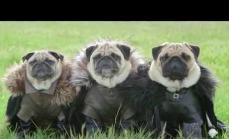 The Pugs of Westeros: How Was It Made?