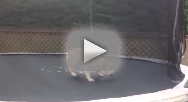 Bulldog on a Trampoline!
