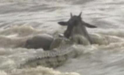 Crocodile Swallows Wildebeest: Caught on Camera!