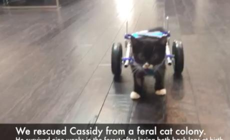 Two-Legged Cat Walks with Wheelchair, Inspires All