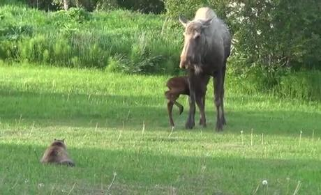 Cat Stalks Mother Moose and Baby Moose, Immediately Regrets It