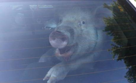 Police Arrest Pig in Michigan: See the Footage!