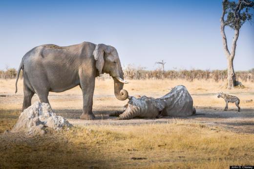 Elephant Mourns Deceased Friend