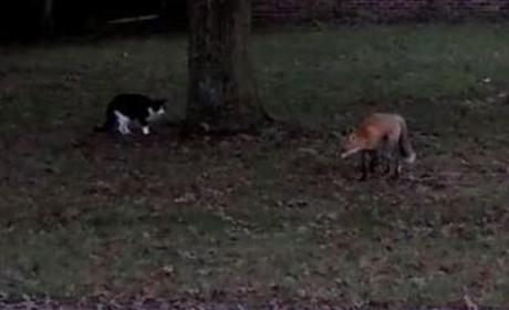 Cat Chases Fox Away
