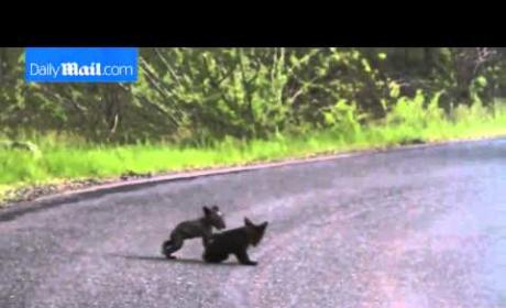 Baby Bears Do Battle, Internet Wins