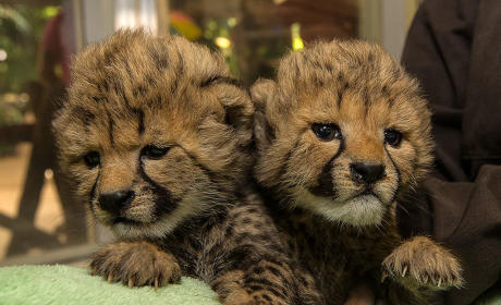 Baby Cheetahs!