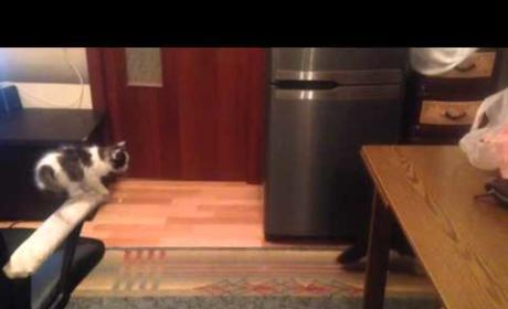 Persistent Cat Really Wants to Jump from Chair to Table