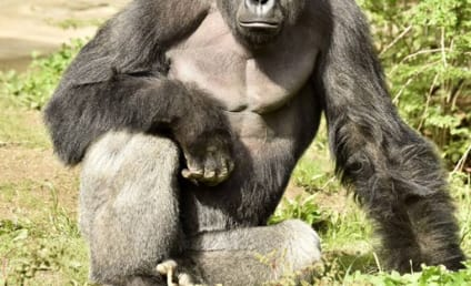 Cincinnati Zoo Parents: Will They Be Charged in Murder of Harambe?