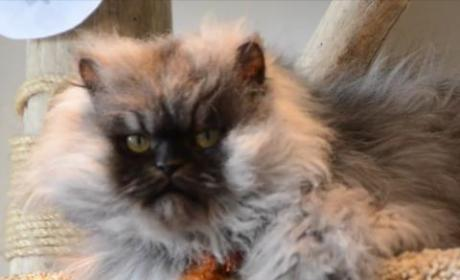 Meet the Cat with the World's Longest Hair