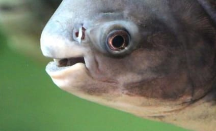 Testicle-Eating Fish: Spotted, Caught in Sweden