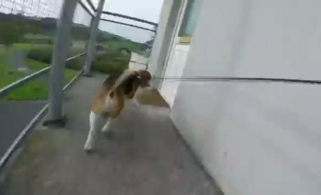 Dog Opens and Closes Front Door, Finishes Walk Like a Boss