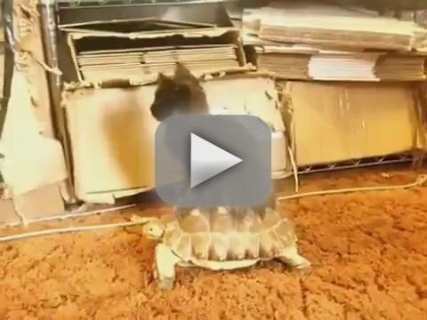 Cat Rides on Turtle