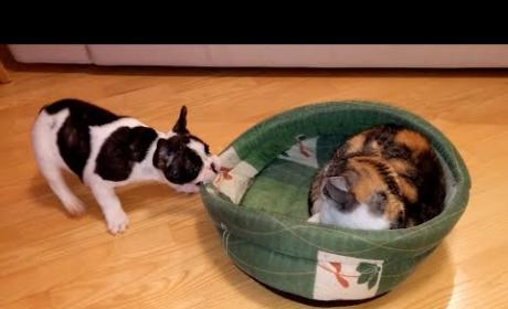 Dog Tries to Steal Bed Back from Unimpressed Feline