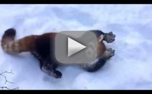Red Pandas Love the Snow!