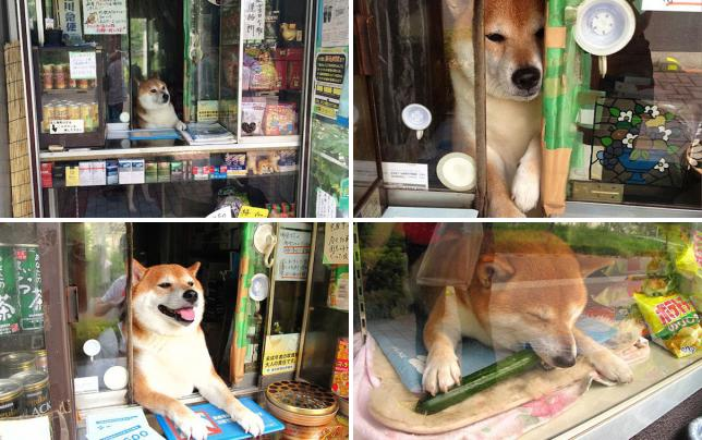 Shiba inu runs cigarette shop may i help you
