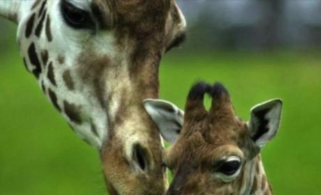 Facebook Giraffe Pictures: What is the Deal?
