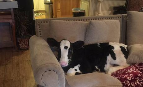 Goliath The Baby Cow Thinks He's a Dog