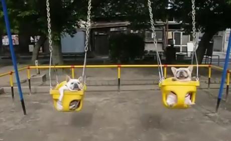Smallish Dogs Enjoy Swings at Park; Asian Man Narrates