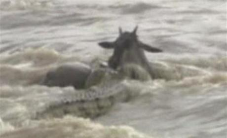 Crocodile Swallows Young Wildebeest