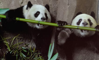 21 Pictures of Pandas Just Being Their Awesomely Adorable Selves