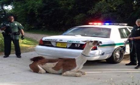 Cops Taze Escaped llama in Florida