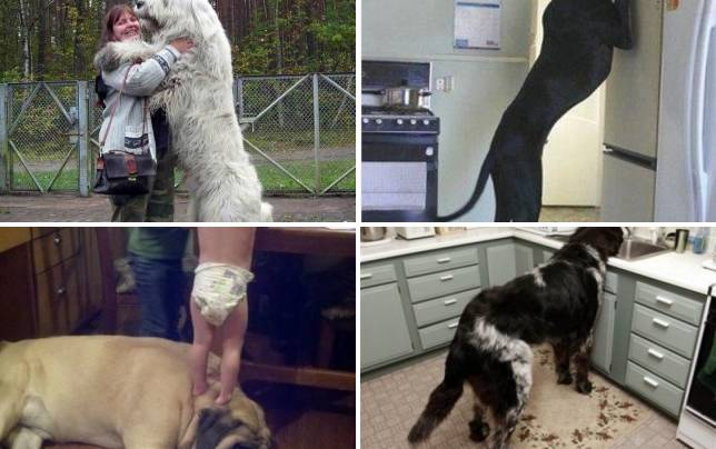 21 giant dogs who dont know theyre giants hugs not drugs