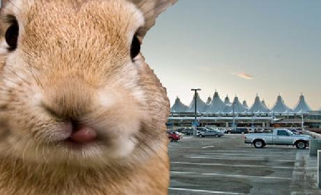 Bunnies Attacking Cars at Denver Airport