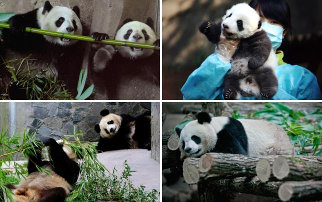 21 totally adorable panda photos dinner for 2