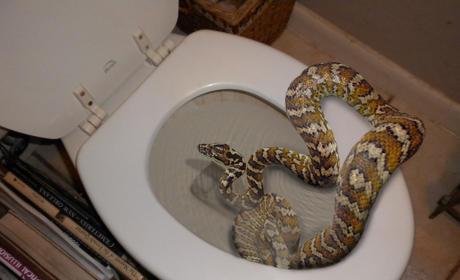 Snake Hides in Toilet, Bites Man's Penis