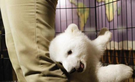 Baby Polar Bear Cub