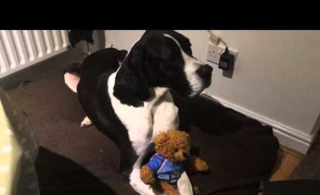 Great Dane Refuses to Let Go of Stuffed Animal: Watch, Laugh Now!