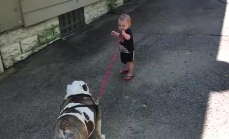 Baby Has Great Difficulty Taking Bulldog for a Walk