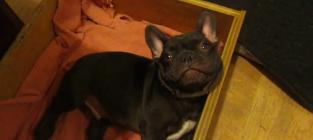French Bulldog Puppy Doesn't Want to Sleep, Stars in CUTEST VIDEO EVER