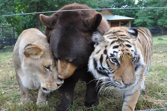 Lion, Tiger and Bear