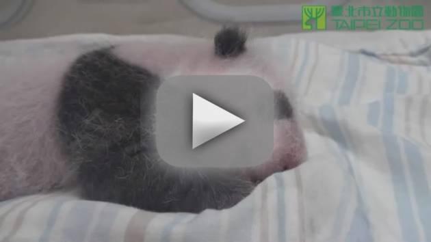Baby Panda Sucks Thumb