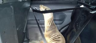 Sea Lion Hitches Ride in Police Cruiser: See the Amazing Pic!