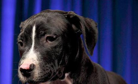 Anthony the Dog