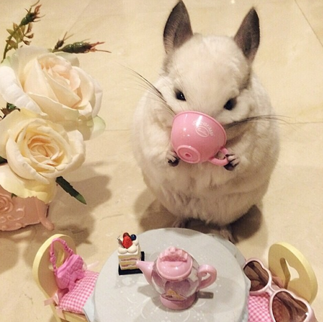 Chinchilla Drinks Tea