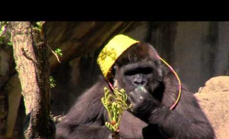 Gorilla Takes Part in Easter Egg Hunt