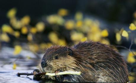 Beaver Kills Man Trying to Take Photo