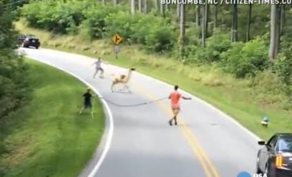 Llama Gets Loose in North Carolina, Panicked Hilarity Ensues