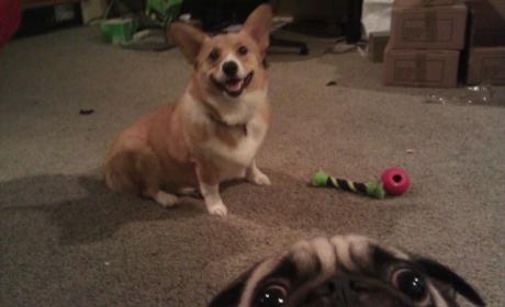 Pug Photobomb!