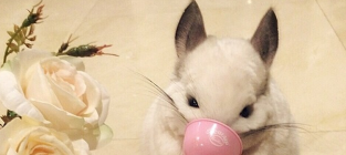 Cutest. Chinchilla. Photos. Ever.