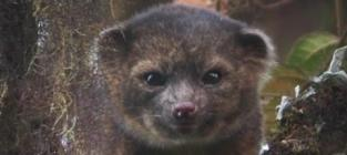 Olinguito Discovered in South America; New Mammal Looks Like Cross Between Dog, Cat and Bear!