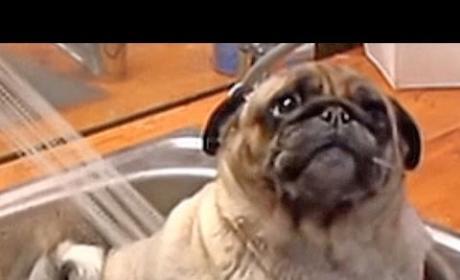 Barry the Pug LOVES His Bath