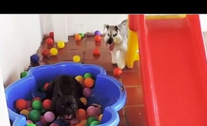 Dog Sees Ball Pit for First Time, Goes Totally Bonkers