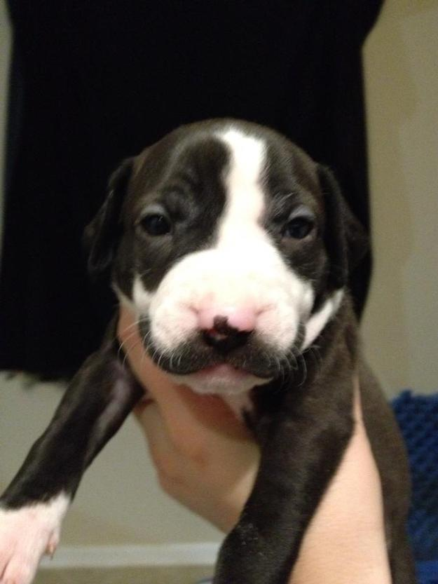 Mustachioed Puppy