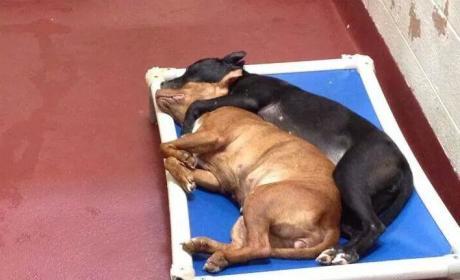 Pit Bulls Snuggle in Animal Shelter, Await Adoption, Go Viral