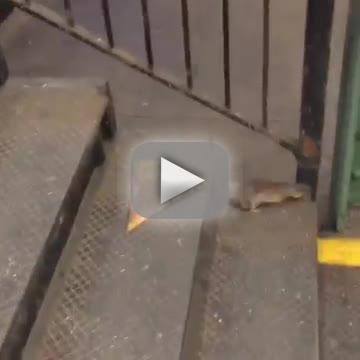 Rat carries pizza by transport hire sums up hold up in nyc
